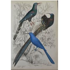 Original Antique Print of Exotic Birds 'Promerops,' circa 1830, Folio