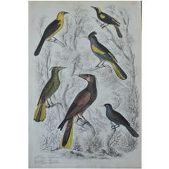 """Original Antique Print of Exotic Birds """"Troopials"""", circa 1830, Folio"""