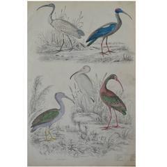 Original Antique Print of Exotic Birds 'Ibis,' circa 1830, Folio