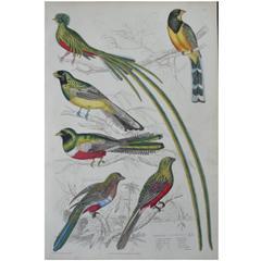 Original Antique Print of Exotic Birds (Couroucoui) Folio, circa 1830
