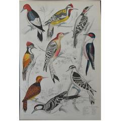 Original Antique Print of Exotic Birds 'Woodpeckers,' circa 1830, Folio