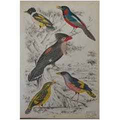 Original Antique Print of Exotic Birds (Eurylaimes) Folio, circa 1830