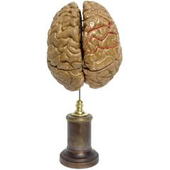 Anatomical Model for Class Depicting a Brain