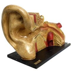 Anatomic Model for Class Depicting an External and Internal Ear