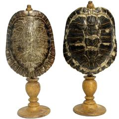 Natural Wunderkammer Marine Specimen, a Couple of Turtle Carapace