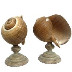 Wunderkammer Natural Specimen, a Pair of a Giant Tun Shells Tonna Galéa