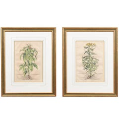 Pair of Gilt Framed Botanical Prints, Dutch, circa 1696 with Later Hand Coloring