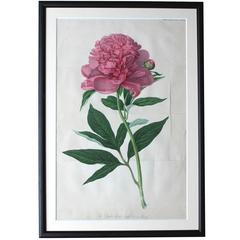 Framed Chromolithographic Plate of the Double Sweet Scented Chinese Peony