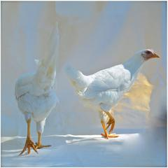 "'Isabella Rossellini's  Heritage Chickens ""Photographed by Patrice Casanova NY"