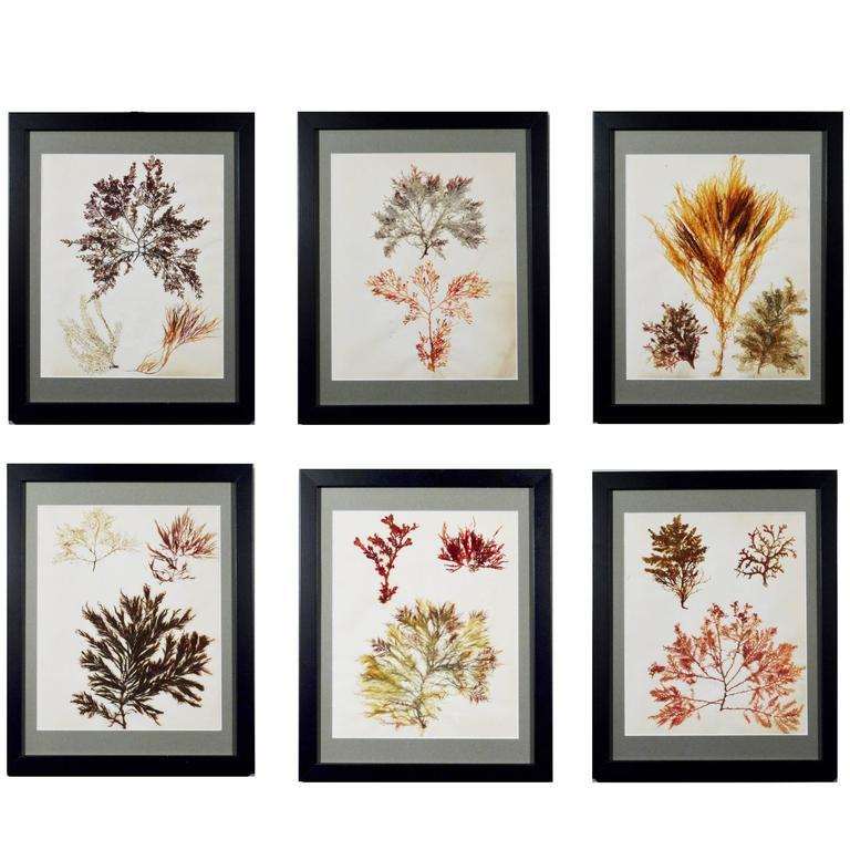 Victorian Ladies' Pressed Seaweed Pictures Set of Six, circa 1885