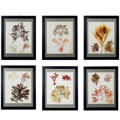 Victorian Ladies' Pressed Seaweed Pictures Set of Six, circa 1885