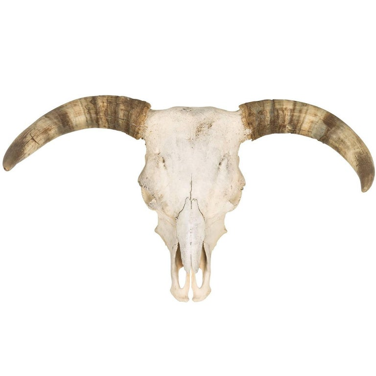 Cattle Skull With Horns For Sale At 1stdibs