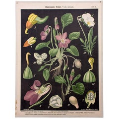 Wall Chart, Violet, Prof. Dr. Pilling, 1916