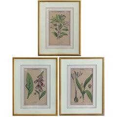 Antique English Botanical Engravings Set of Three