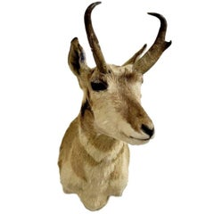 Horned Antelope Taxidermy
