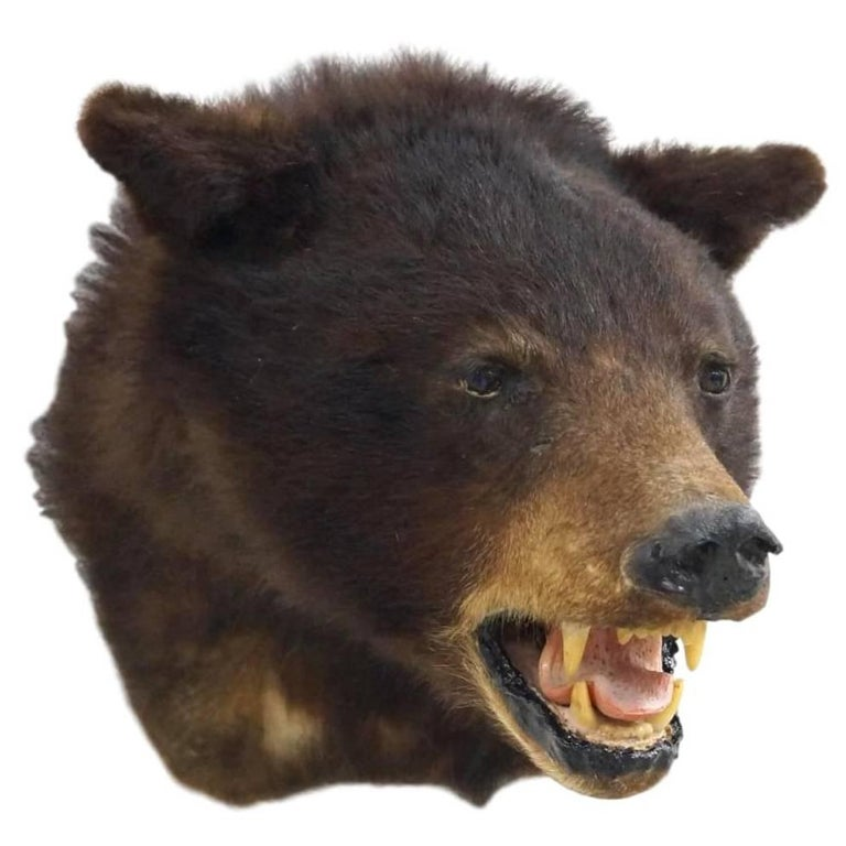 Black Bear Taxidermy Head Mount