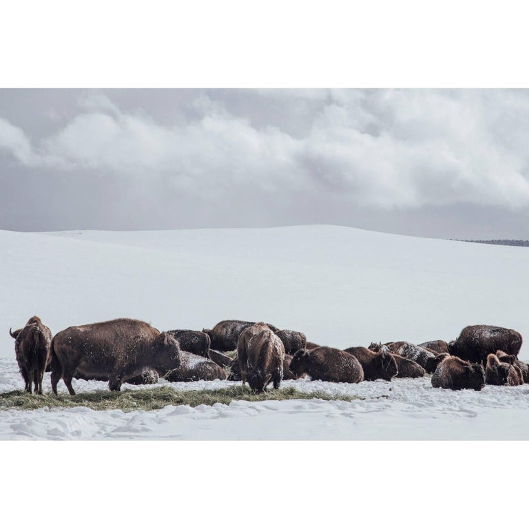 "Original Photography ""Buffalo"" by Maxime Bastide French Photographer"