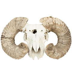 Ram's Head Scull and Horns