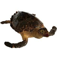 Taxidermy Loggerhead Sea Turtle 'Caretta Caretta', Pre 1947, Cites