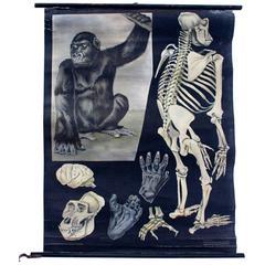 Rare Wall Chart Chimpanzee from Jung-Koch-Quentell, 1923