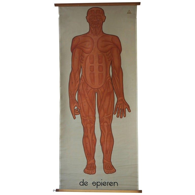 Vintage Anatomical Chart Muscular Structure of Man For Sale