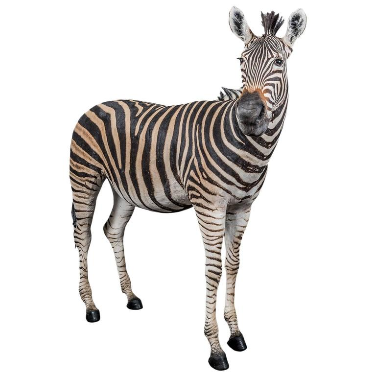 Rare Freestanding Full Taxidermy Mount of a Burchell's Zebra from South Africa 1
