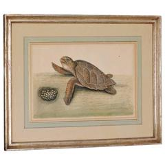 18th Century Engraving of a Hawksbill Sea Turtle by Mark Catesby