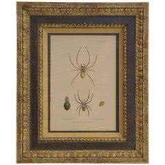 "19th Century Print ""New Species of Spiders"""