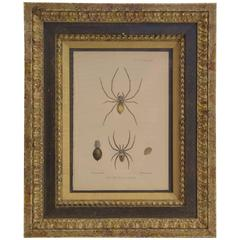 """19th Century Print """"New Species of Spiders"""""""