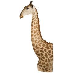 Rare African Taxidermy Massive Tall Part Giraffe
