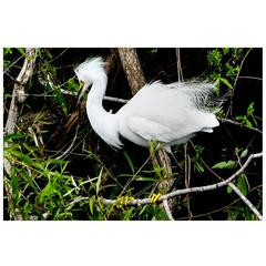Snowy Egret Photograph Hunting for Dinner