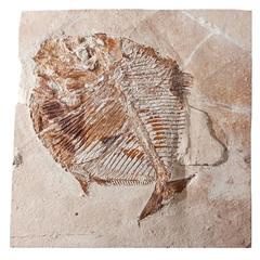 Lebanon Fossil Fish