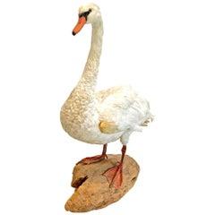 Taxidermy Mute Swan