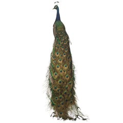 Taxidermy Indian Peacock Mount
