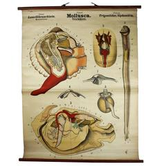 Antique 19th Century Wall Chart by Rudolf Leuckart, Mollusca, Invertebrate
