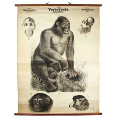 Antique 19th Century Wall Chart by Rudolf Leuckart, Primates, Ape