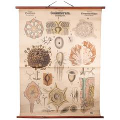 Antique 19th Century Wall Chart by Rudolf Leuckart, Coelenterata, Sea Sponges