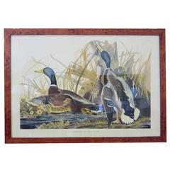 Audubon Framed Print Mallard Duck Havell Edition