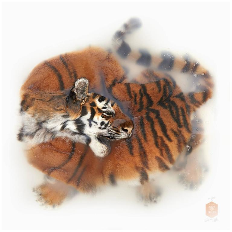 Art Print Titled 'Unknown Pose by Amur Tiger' by Sinke & van Tongeren