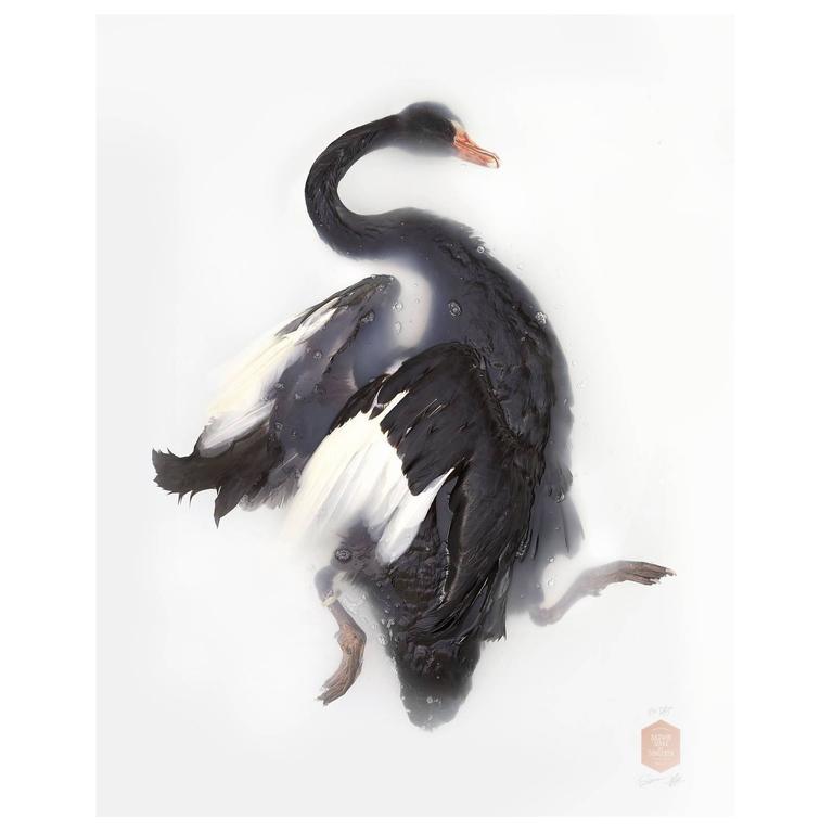 Art Print Titled 'Unknown Pose by Black Swan' by Sinke & van Tongeren
