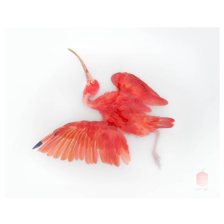 Art Print Titled 'Unknown Pose by Scarlet Ibis' by Sinke & Van Tongeren