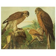 "German School, Teaching Chart, Poster ""Birts of Prey"""