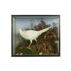 Vintage Taxidermy, Cased Albino Pheasant