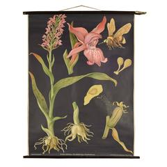 German Educational Poster of an Orchid