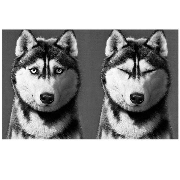 Siberian Husky Print 1