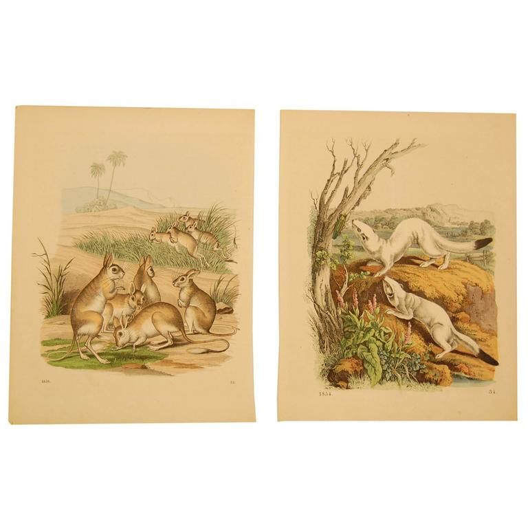 Two Victorian Prints of Mammals, 1854 and 1859