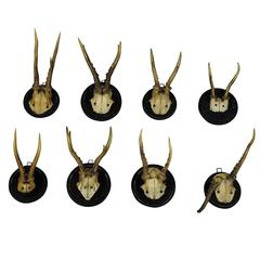 Eight Nice Black Forest Deer Trophies, circa 1900
