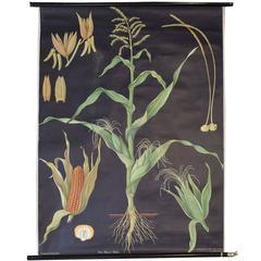 German Educational Poster of Corn