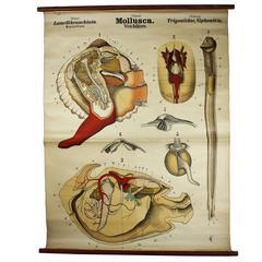 Rare Antique Wall Chart Mollusca by Rudolf Leuckart, 1885