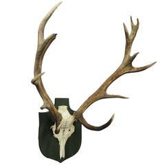 Antique Black Forest Deer Trophy from Salem, Germany, 1928